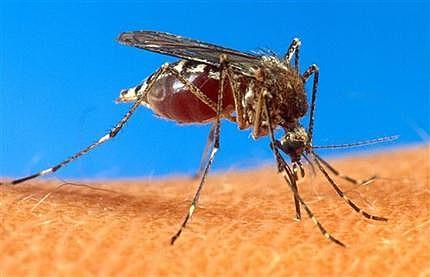 Caribbean Mosquito Virus