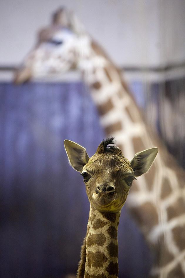New Giraffe is Born at Zoo Aquarium Madrid