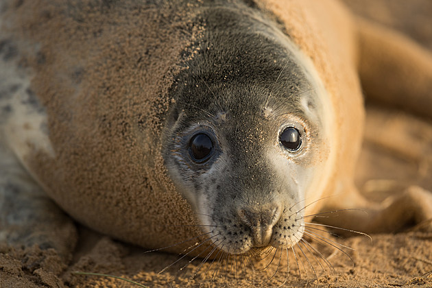 Seal Pups Thrive At The Donna Nook Reserve